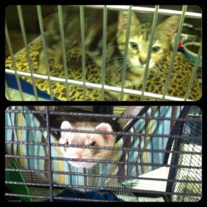Two of the many cats and ferrets looking for a home at the Capital Area Humane Society